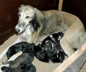 Sitiaminah  and her puppies